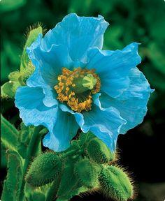 Una flor azul !
