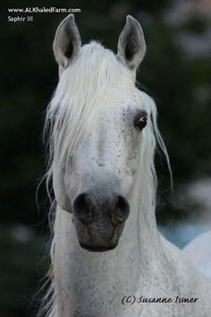 Website Inquiry Al Khaled Farm | Horse | Saphir III