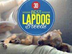 30 Best Lap Dogs for Cuddly Pet Owners Kill Fleas On Dogs, Diarrhea In Dogs, Best Dog Food, Dry Dog Food, Best Dogs, Dog Mange, Home Remedies For Fleas, Pet Allergies, Dog Died
