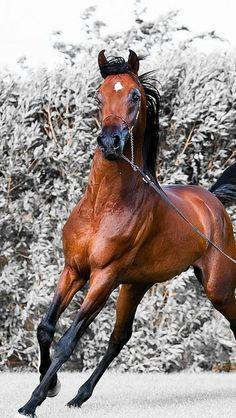 Arabian Bay Horse