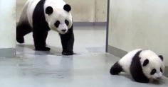 Even in the animal kingdom moms need some alone time. Watch as this baby giant panda bear sneaks out out bed, only to have mama put him right back to sleep.This video takes place at the Taipei Zoo, where a giant panda bear and her cub reside.