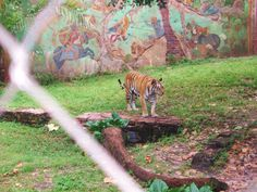 Roaming tiger at the Animal Kingdom. Hollywood Studios, Epcot, Magic Kingdom, Walt Disney World, Animal Kingdom, Orlando, Park, Animals, Orlando Florida