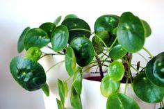 Krukväxten elefantöra (Parasollpilea, 'Pilea Peperomioides') växer så fort att det är enkelt att vara generös och dela med sig av sidoskotten. På engelska kallas den här växten för Chinese Moneyplant.