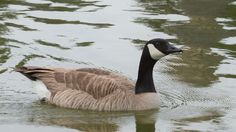 Canadian Goose by Steve Marquez on 500px
