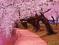 Cherry Blossoms | Japan #trees