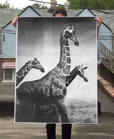 These large, striking, black and white posters by Debbie Carlos, are printed on a plotter— a large format printer mainly used to produce architectural and engineering prints—which gives them a really unique look. Giraffe Art, Giant Giraffe, Black And White Posters, Colossal Art, Safari Nursery, Decoration, Artsy, Creatures, Drawings