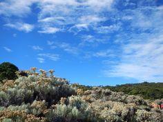 Mandalawangi - Mt. Pangrango field of edelweiss