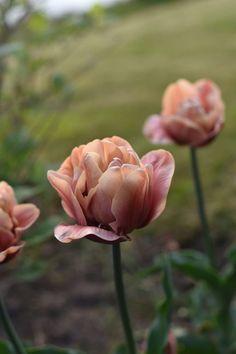 The world& most beautiful tulip & belle Epoque& (Victoria Skoglund - Zetas) - The world& most beautiful tulip & belle Epoque& - Porch Garden, Garden Cottage, Garden Plants, Gardening Vegetables, Garden Beds, Herb Garden Design, Garden Types, Belle Epoque, Flower Farm