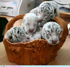 Basket of Tiger Cubs - Pretty much the best present ever!
