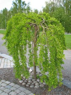 Ornamental Trees, Plants, Front Yard Landscaping, Small Gardens, Outdoor Gardens, Dream Garden, Trees For Front Yard, Garden Planning, Beautiful Gardens
