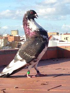 Moroncelo pouter pigeon