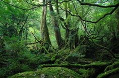 """The World Heritage site, Yakushima (屋久島), Kagoshima, Japan. Most days in this island gets rain, but it makes a mysterious, beautiful scene.  The place where is the model in Studio Ghibli film, """"Princess Mononoke"""" in 1997."""