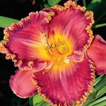Spacecoast Cranberry Breeze Reblooming Daylily