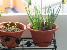 How to Grow Spring Onions/Scallions (Step-by-Step Photos)