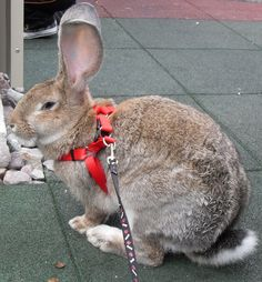 (Flemish) Giant Rabbit Junie B is getting one of these!
