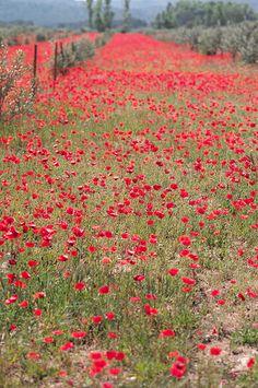 Provençal poppies photographed by Veronika Belotserkovskaya