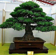 Bonsai #Podocarpus #Lohansung