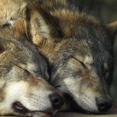 Sleeping Wolves ♥