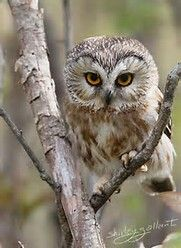 Cute Baby Northern Saw-whet Owls