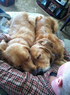 A Golden Retriever Blanket. Cute Baby Animals, Animals And Pets, Funny Animals, Cute Puppies, Cute Dogs, Dogs And Puppies, Doggies, Golden Retrievers, Baby Dogs