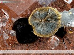 Rankachite, Fluorite Field of view 1.8 mm Collection: K.H. Tausend, Saarland Photo: Edgar Müller