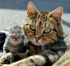 Mama Cat and Kitty Baby I Love Cats, Cute Cats, Funny Cats, Pretty Cats, Beautiful Cats, Beautiful Family, Crazy Cat Lady, Crazy Cats, Kittens Cutest