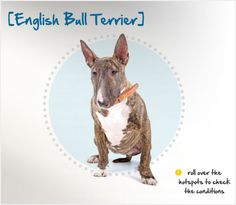 Did you know the playful, young at heart and super friendly English Bull Terrier is a cross between Terrier dogs and Bulldogs seen first in the Read more about this breed by visiting Petplan pet insurances Condition Checker! Beautiful Dog Breeds, Beautiful Dogs, Pet Dogs, Dogs And Puppies, Pets, Dog Whisperer Tips, Pet Station, Best Pet Insurance, English Bull Terriers