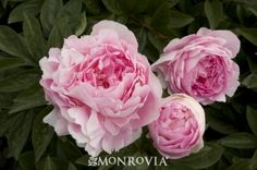 Lady Orchid Peony (Paeonia x 'Lady Orchid') - Monrovia - Lady Orchid Peony (Paeonia x 'Lady Orchid')