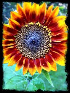 Sunflower in my garden.