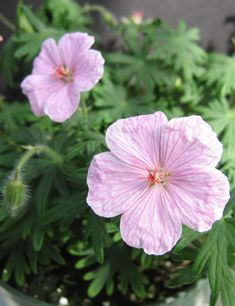 """PERENNIAL  Geranium Vision Light Pink Zone: 3-8  Flowers: Light pink  Blooms: 6-8 weeks, starting May  Cut back by 2/3 for second bloom  Drought tolerant once established  Plant with Geum, Liatris and Coreopsis Features Butterfly Deer Resistant Drought Tolerant Long Bloomer Tolerates Black Walnut Sun Exposure Full Sun Part Sun/Part Shade Flower Colors Pink Foliage Colors Green Foliage Height 12-16""""  Spread (Width) 12-18"""" Flower Colors, Colorful Flowers, Part Shade Flowers, North Facing Garden, Perennial Geranium, Low Maintenance Plants, Drought Tolerant, 8 Weeks, Live Plants"""