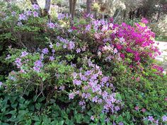 Rhododendron Collection at Mendocino Coast Botanical Gardens -  Fort Bragg, California.   #northcliffhotel  #mendocinocoast #fortbragg #botanicalgardens