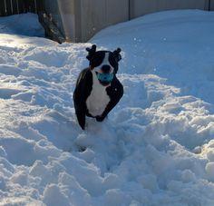 pit bull in snow - G