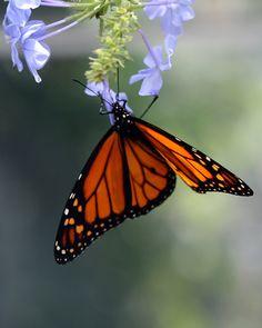 Orange Monarch Butterfly...RIP Pop!  3-19-13