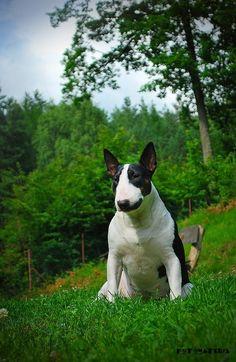 Beautiful #Bull #Terrier