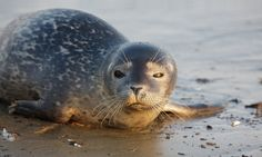 Seal posing for a picture on a beach