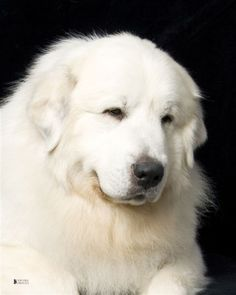 I LOVE these dogs.but they have such short life spans and too many pups in the shelter needing homes that i just have to love them from a distance. Pyrenees Puppies, Great Pyrenees Dog, Dogs And Puppies, Doggies, Large Dog Breeds, Best Dog Breeds, Best Dogs, Really Big Dogs, Huge Dogs