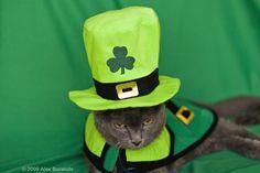 Leprechaun Cat