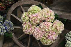#Hydrangea #Hortensia #VerenaClassic; Available at www.barendsen.nl