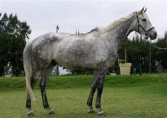 images of dapple grey horses   Welcome to Highborn Equestrian Academy: Sales Horses