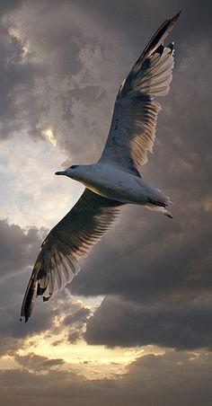 Seagull / Möwe