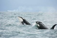 viaRussian Orcas: Orcas are playing in Avacha Gulf of Kamchatka, Northwest Pacific
