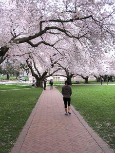 University of Washington - courtyard during the spring cherry blossom season. AMAZING