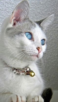 Such a beautiful cat and what lovely blue eyes Pretty Cats, Beautiful Cats, Animals Beautiful, Cute Animals, Simply Beautiful, Pretty Kitty, Gorgeous Eyes, Cute Cats And Kittens, Cool Cats