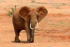 Elephant Photos Elephant on savannah in National park of Africa by byrdyak