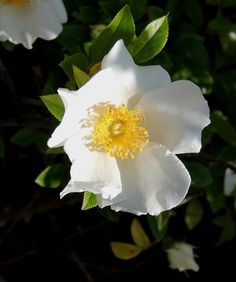 only flowers once in the year but is beautiful when in full bloom. A fantastic rose for along a fence.especially if you want security All Flowers, Beautiful Flowers, Cherokee Rose, Flower Tat, Coming Up Roses, Bloom, Plants, Fence, Native American
