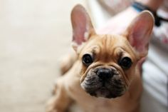 I love frenchies, how could you not love that face!!