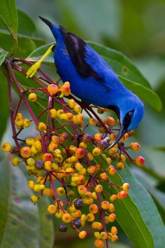 Shining Honeycreeper, found in tropical Central America, from southern Mexico to Panama & northwestern Colombia