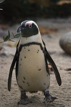 If my future husband somehow found a way to propose to me with penguins my life would be complete.... :)