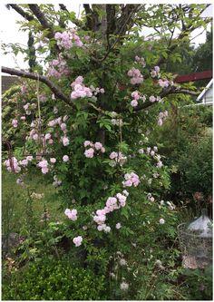 Pauls Himalyan Musk in our garden. Jennysvitavillervalla.blogspot.se