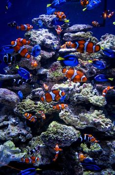 I've always loved clown fish. Makes me want to do a clown fish tank. Underwater Creatures, Underwater Life, Ocean Creatures, Marine Aquarium, Marine Fish, Colorful Fish, Tropical Fish, Fauna Marina, Life Under The Sea